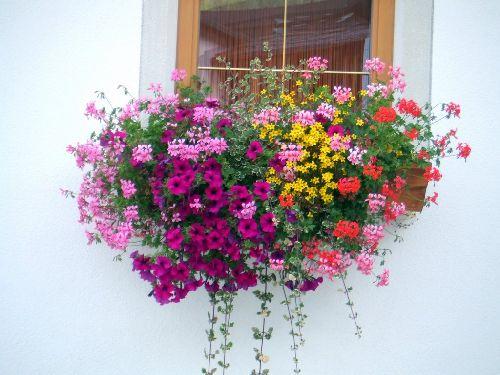 Несколько дней после праздника «Balconi Fioriti» балконы домов местных жителей цветут и пахнут